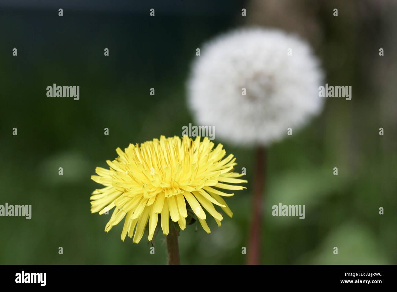 flower head and clock head of dandelion taraxacum officinale flower in garden family N O Compositae - Stock Image