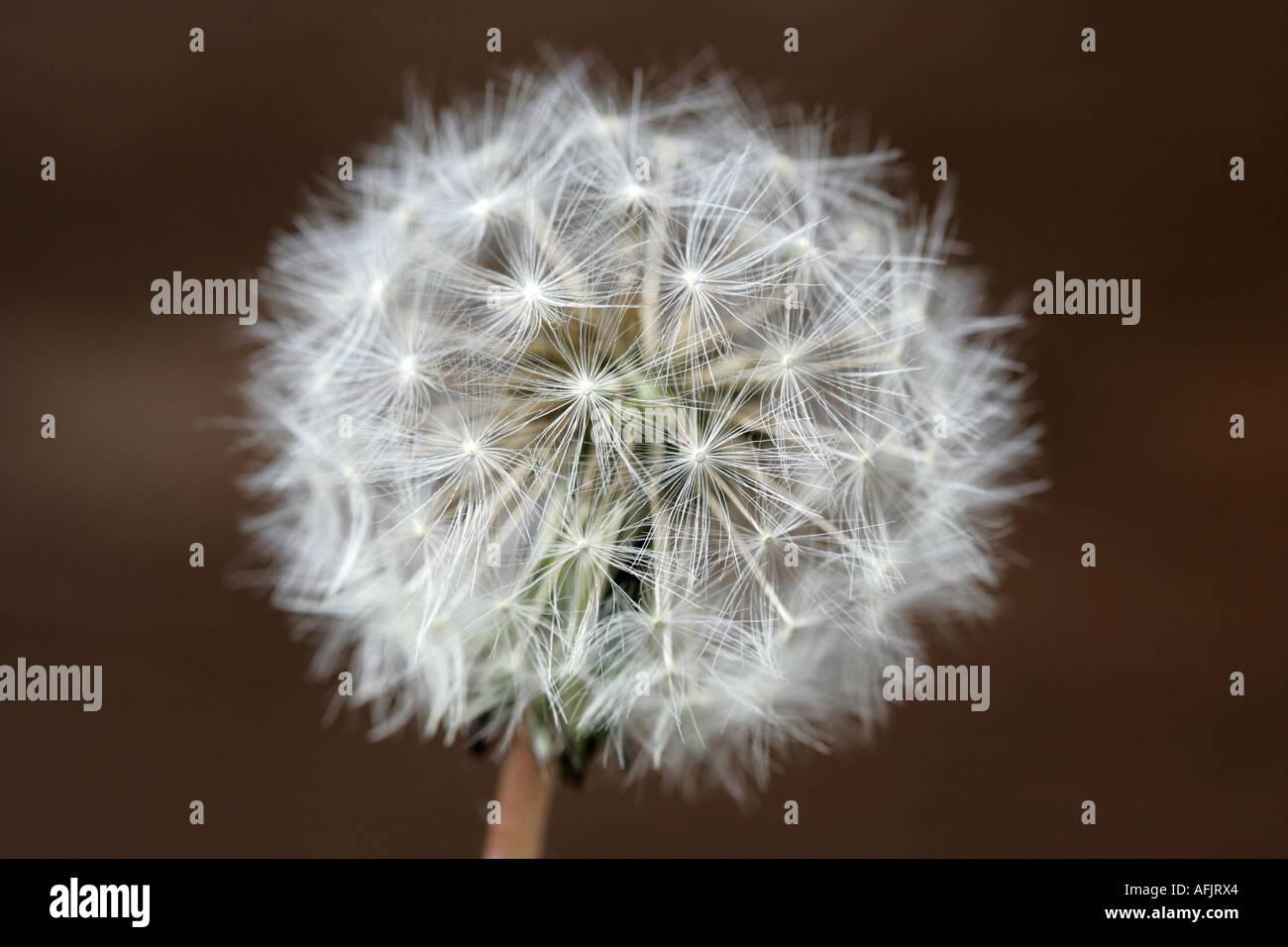 clock head of dandelion taraxacum officinale flower in garden family N O Compositae - Stock Image
