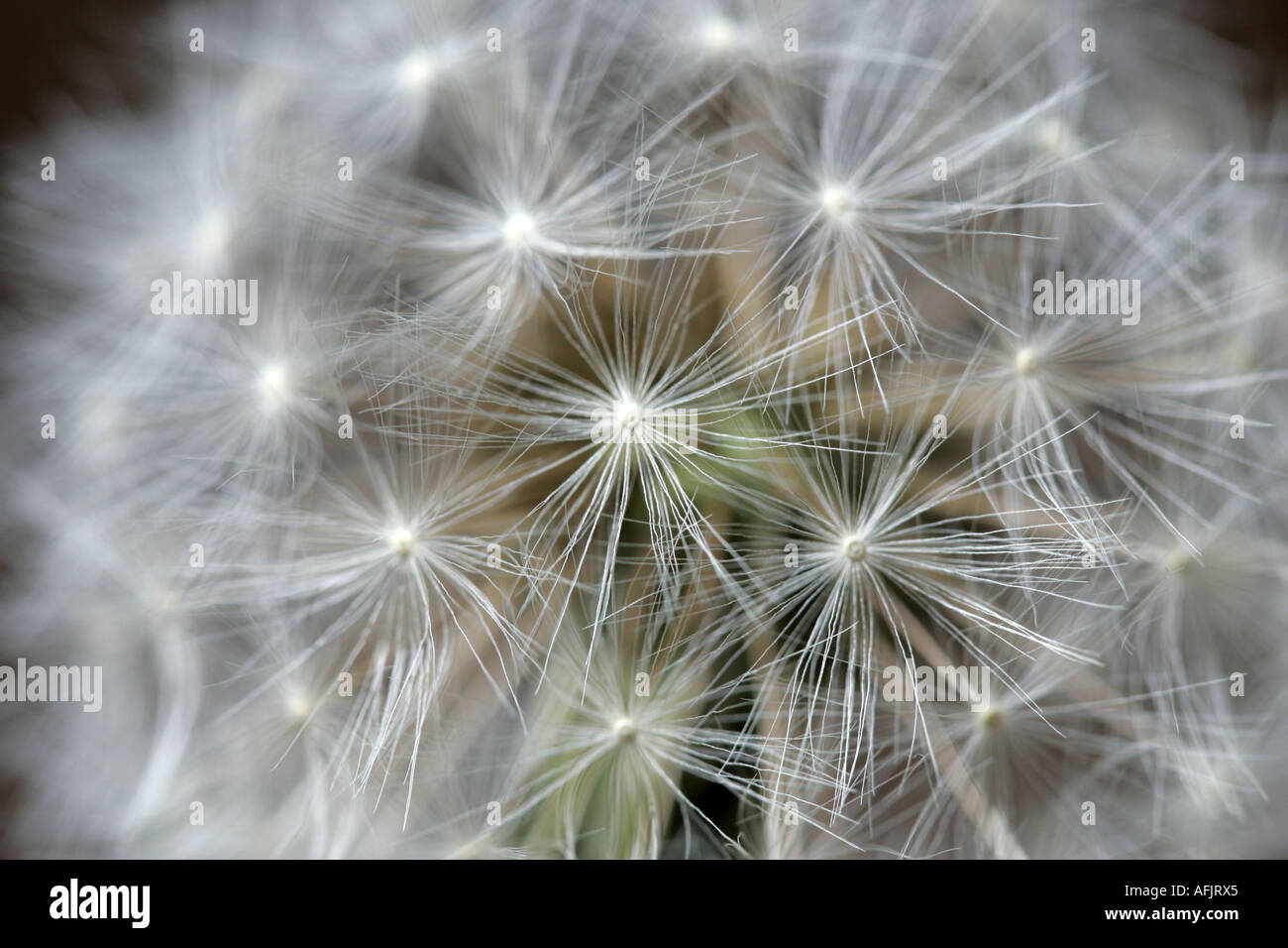clock head of dandelion taraxacum officinale flower in garden family N O Compositae - Stock Image