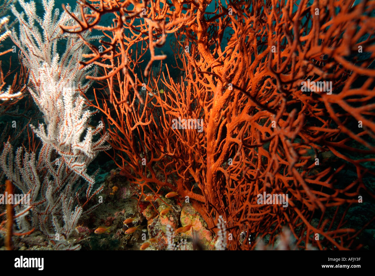 Indian Ocean coral on a reef - Stock Image