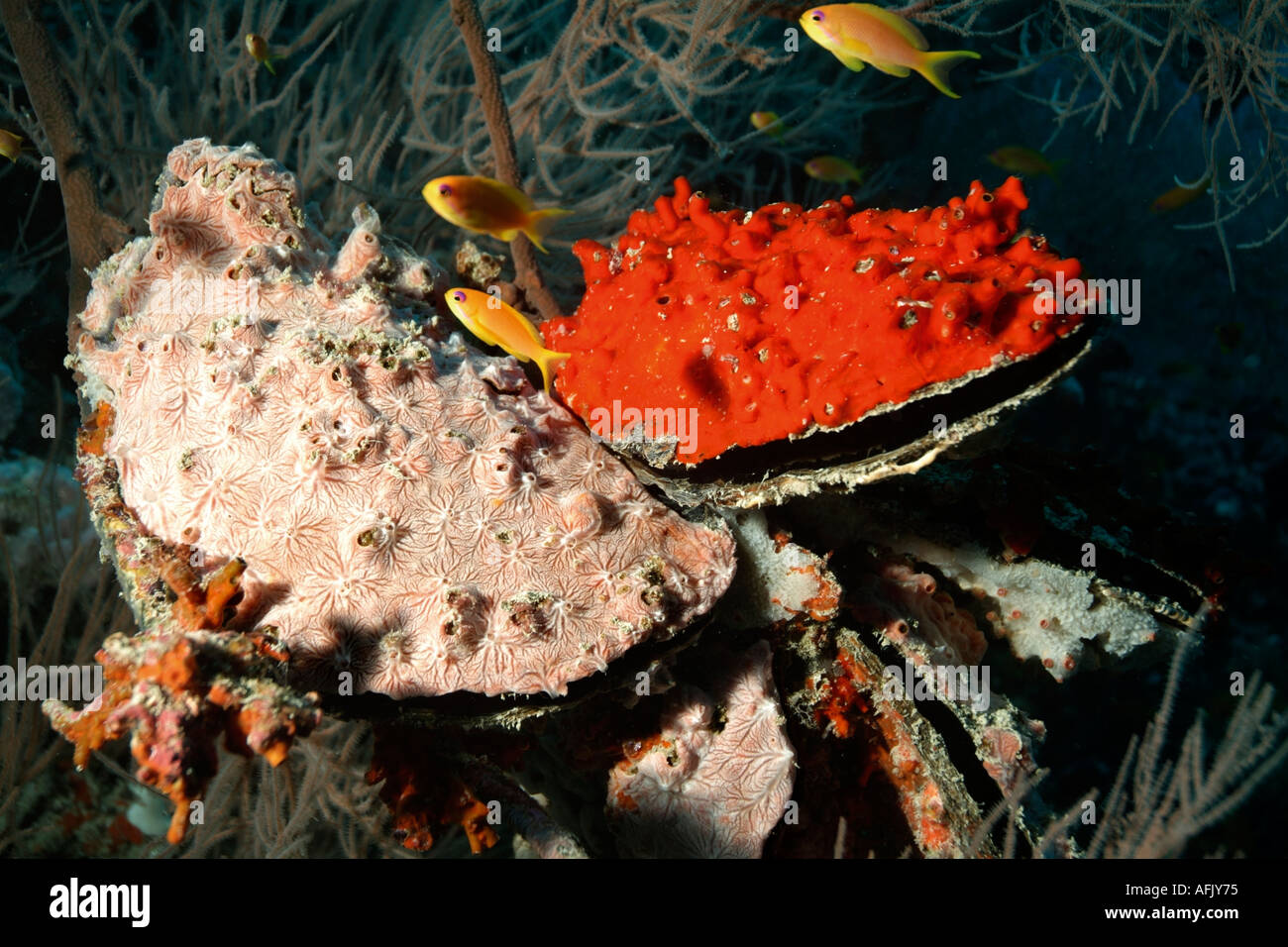 Two Winged Pearl Oysters - Pteria Penguin - On A Frondy Black Coral Antipathes Sp - Stock Image