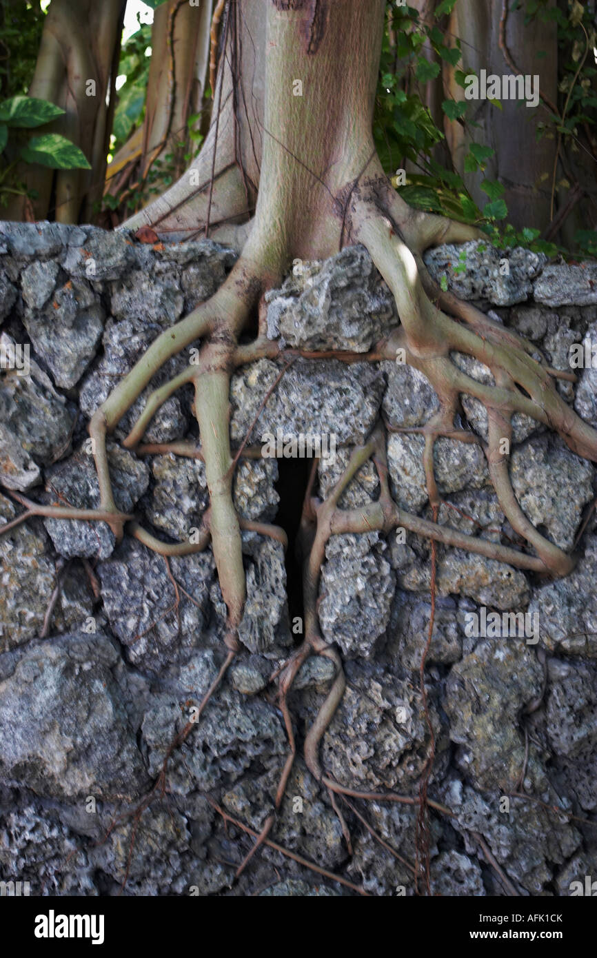 Tree Roots Growing Through Rock Stock Photo 13965090 Alamy