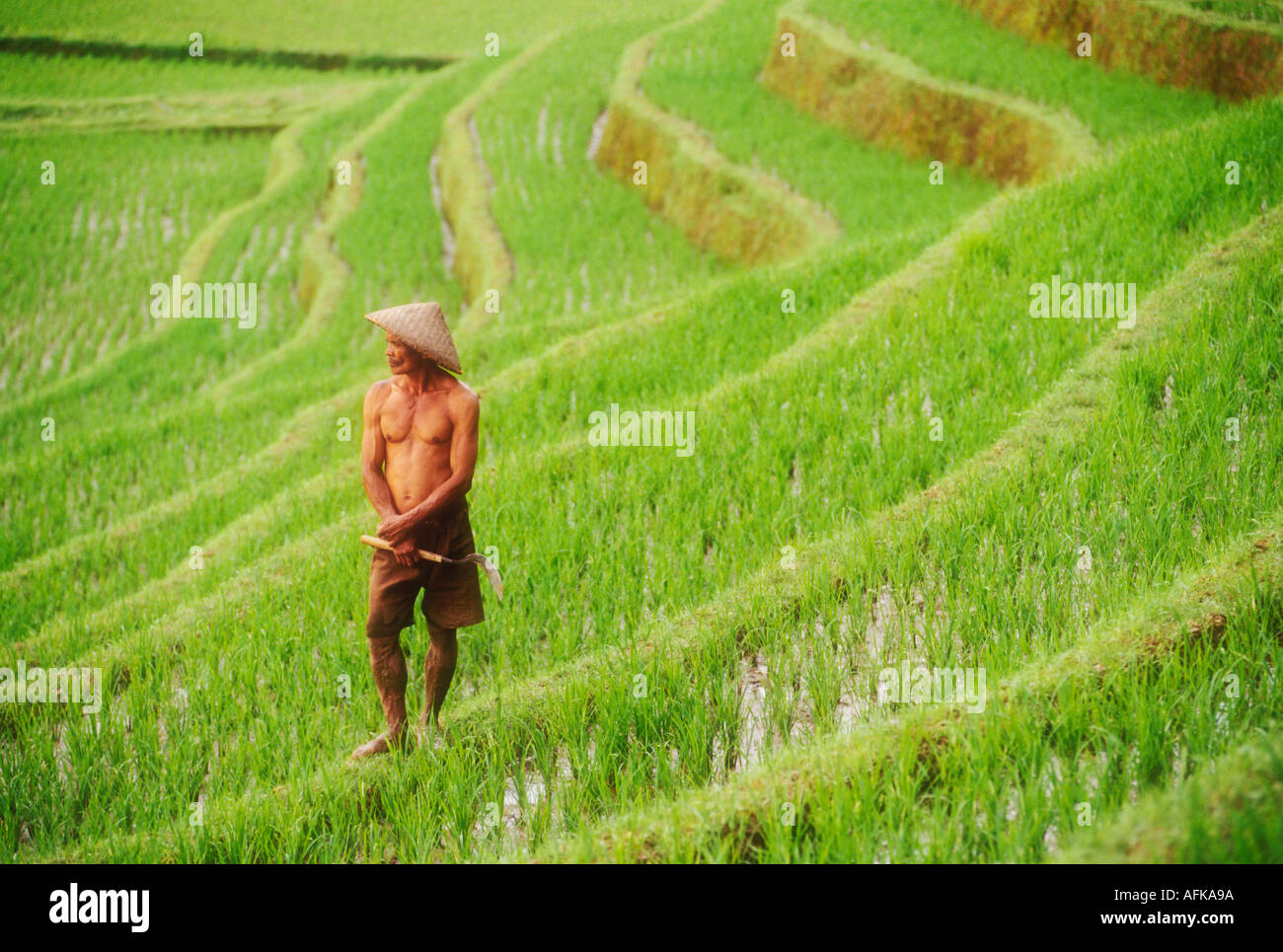 Rice farmer standing in field on the island of Bali in Indonesia Southeast Asia Model Released Photo - Stock Image