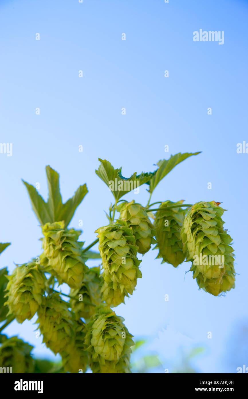 Hop cones on vine, - Stock Image
