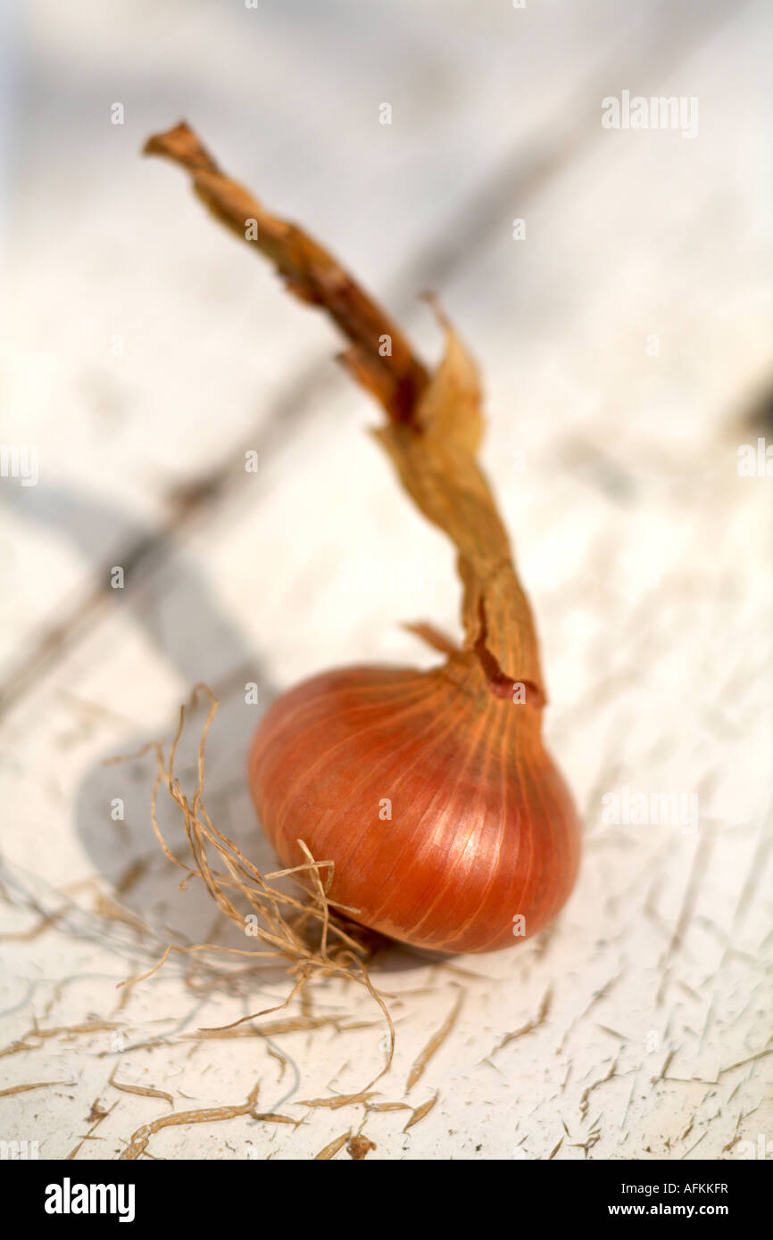 One Onions Onion Stuttgarter variety flat onion - Stock Image