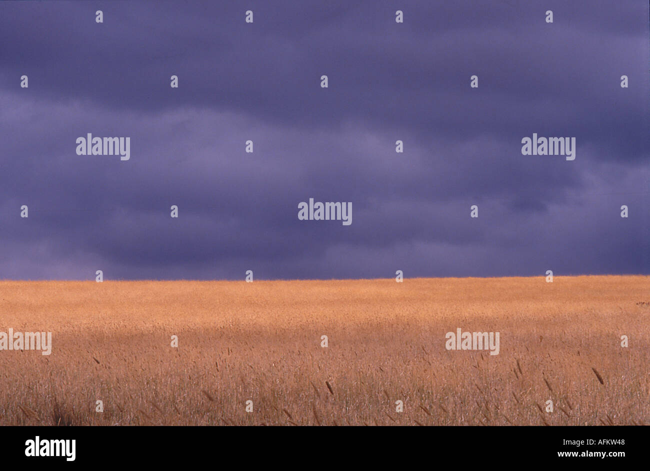field of wheat under a stormy sky - Stock Image