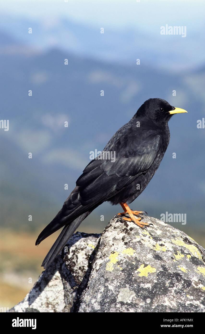 Alpendohle sitzt auf Stein Alpine Chough Yellow billed Chough Pyrrhocorax graculus perched on rock Stock Photo