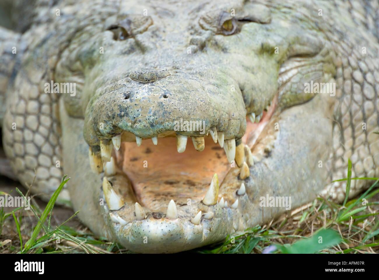 Estuarine Saltwater Crocodile, Queensland, Australia - Stock Image