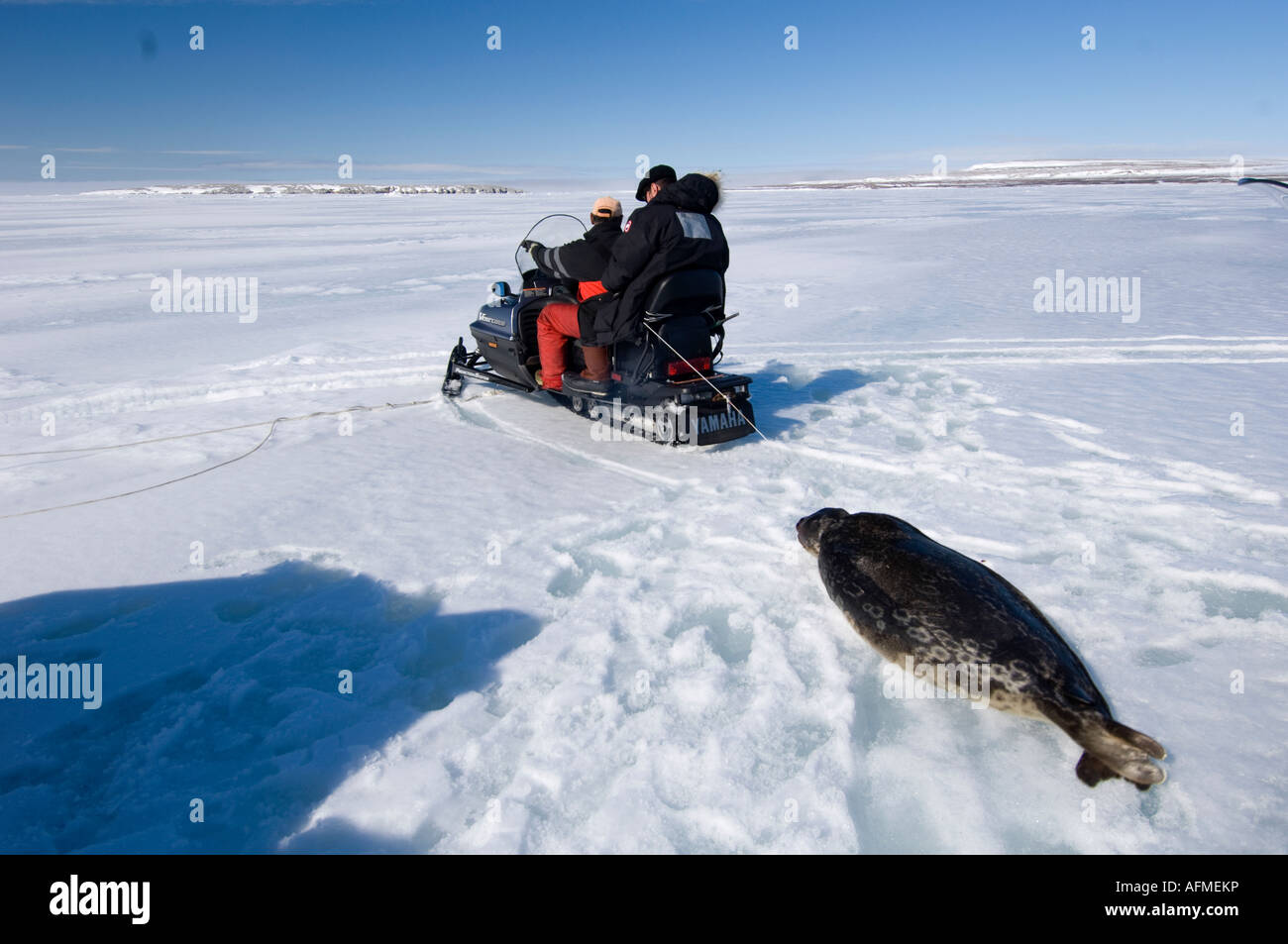 Inuit hunter pulling a dead ringed seal behind a snowmobile - Stock Image