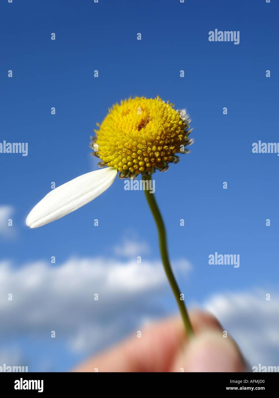 daisy with one leaf left Margerite mit einem Blütenblatt übrig - Stock Image