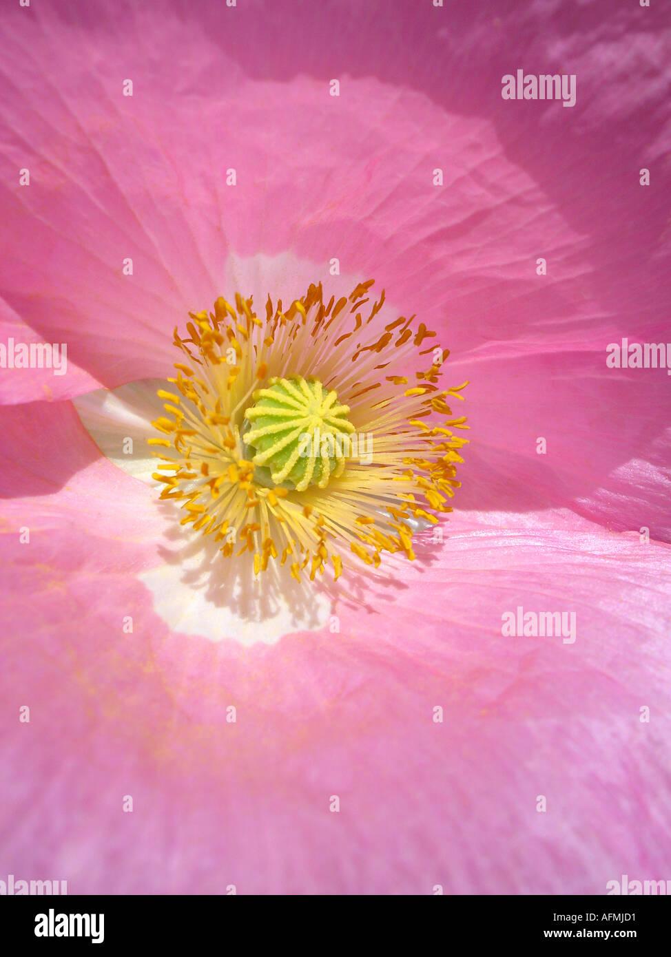 poppy Mohn - Stock Image