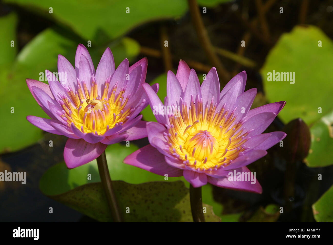 Kerala Lotus Flower Stock Photos Kerala Lotus Flower Stock Images