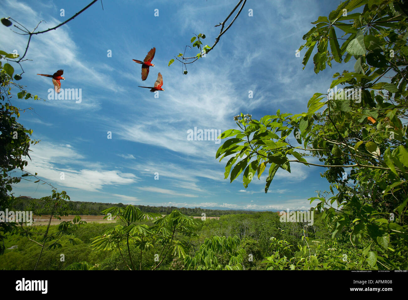 Scarlet Macaws in flight over the Amazon jungle Peru - Stock Image
