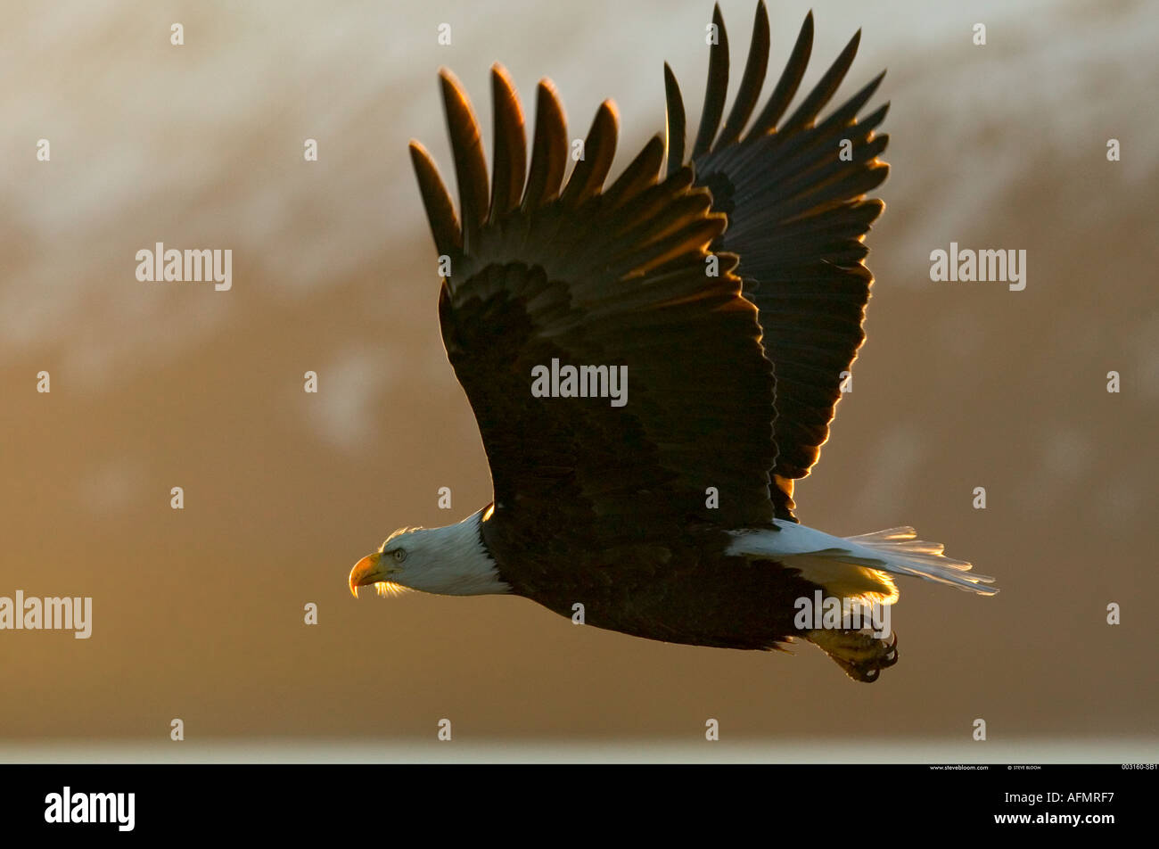 Bald eagle in flight Alaska - Stock Image