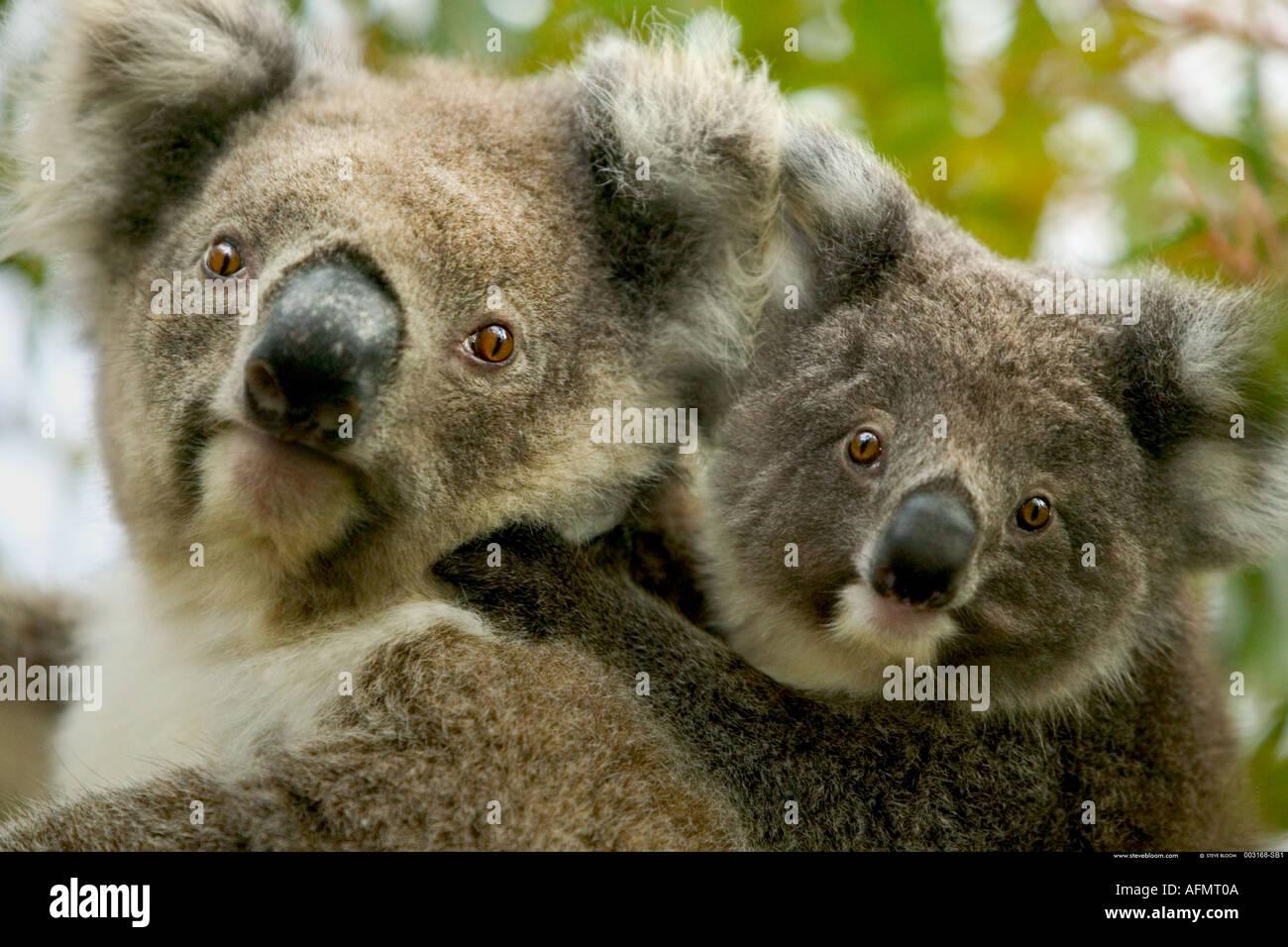 Mother and baby Koalas Kangaroo Island Australia - Stock Image