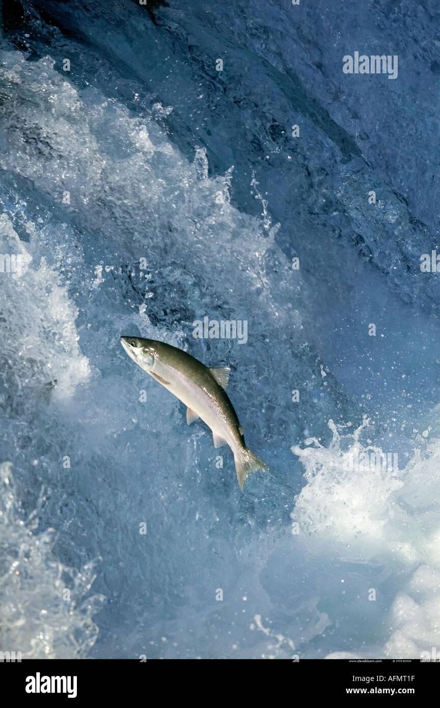 Salmon swimming up waterfall to spawning grounds Brooks Falls Alaska - Stock Image