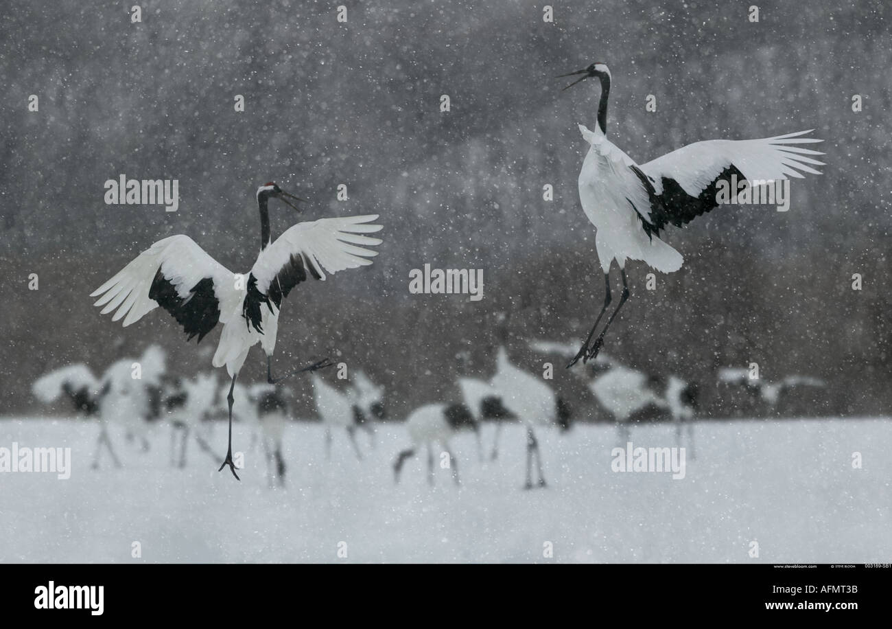 Two Japanese Cranes leaping in dance Hokkaido Island Japan - Stock Image