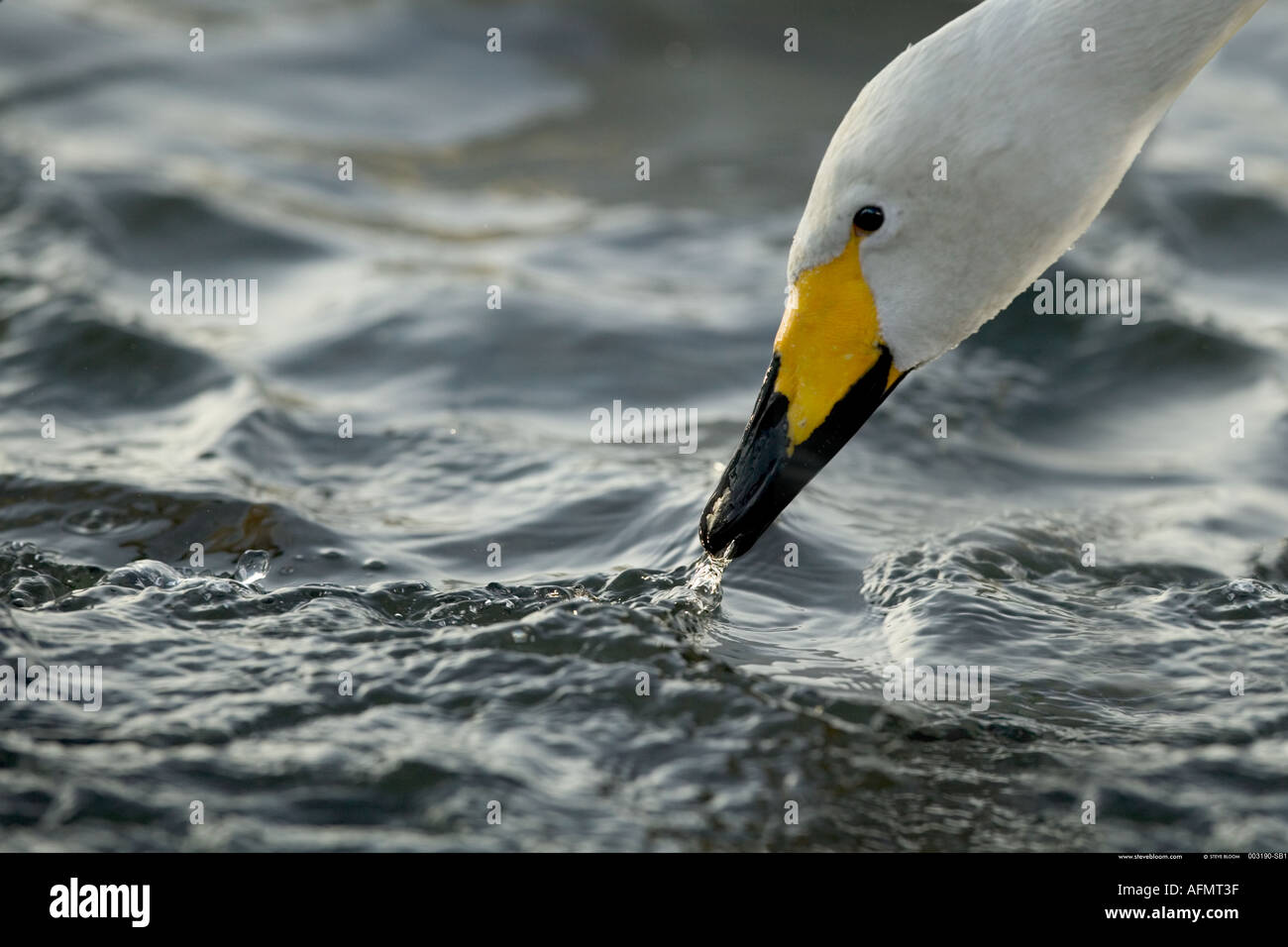 Head of a Whooper Swan Hokkaido Island Japan - Stock Image