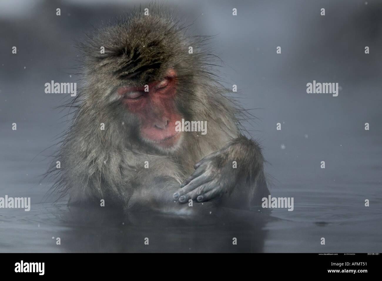Snow monkey enjoying the hot springs Jigokudani National Park Japan - Stock Image