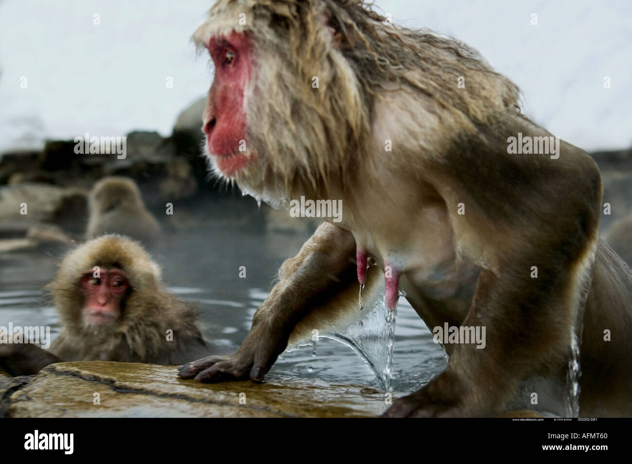 Snow monkey climbing out of the hot springs Jigokudani National Park Japan - Stock Image