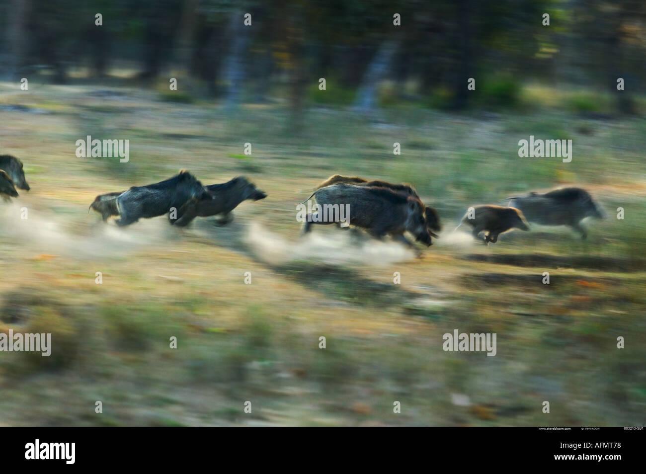 Herd of stampeding Indian Wild Boar Bandhavgarh India - Stock Image
