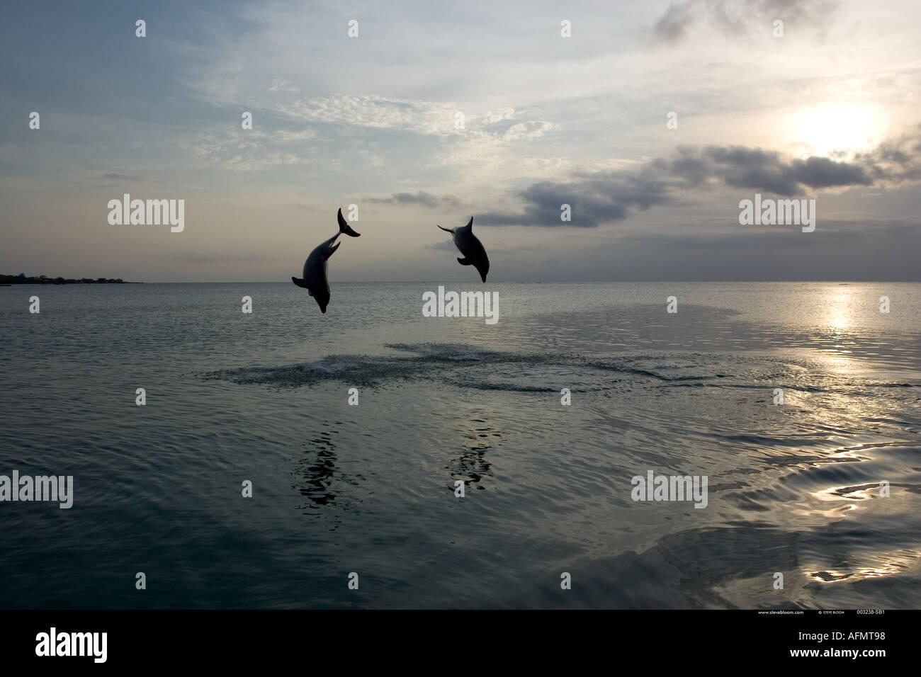 Bottlenose Dolphins leaping Honduras - Stock Image