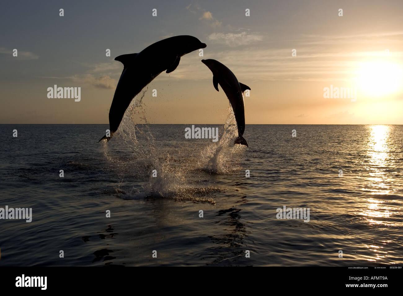 Bottlenose Dolphins leaping at sunset Honduras - Stock Image