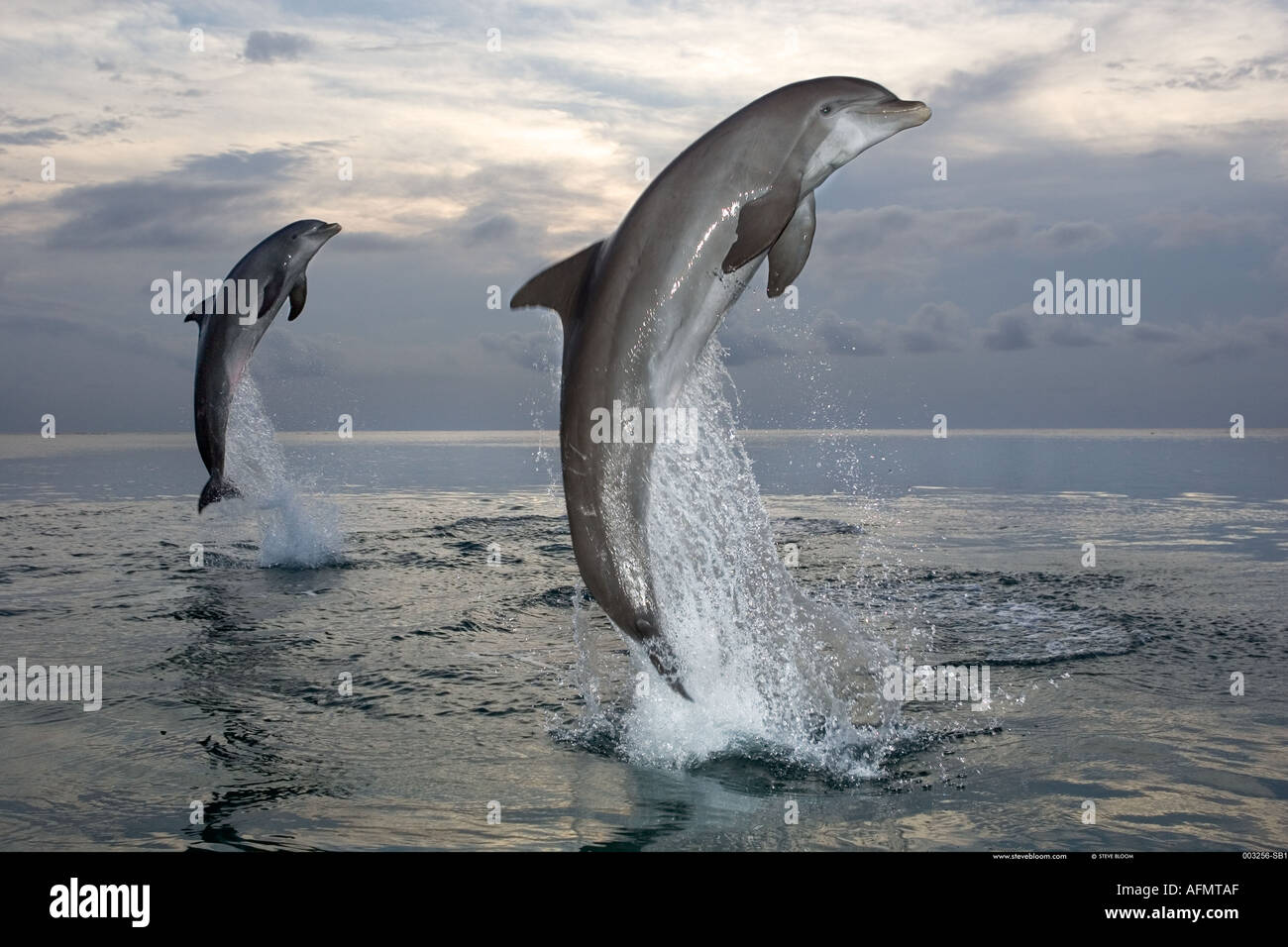 Bottlenose dolphins leaping out of the water Honduras - Stock Image