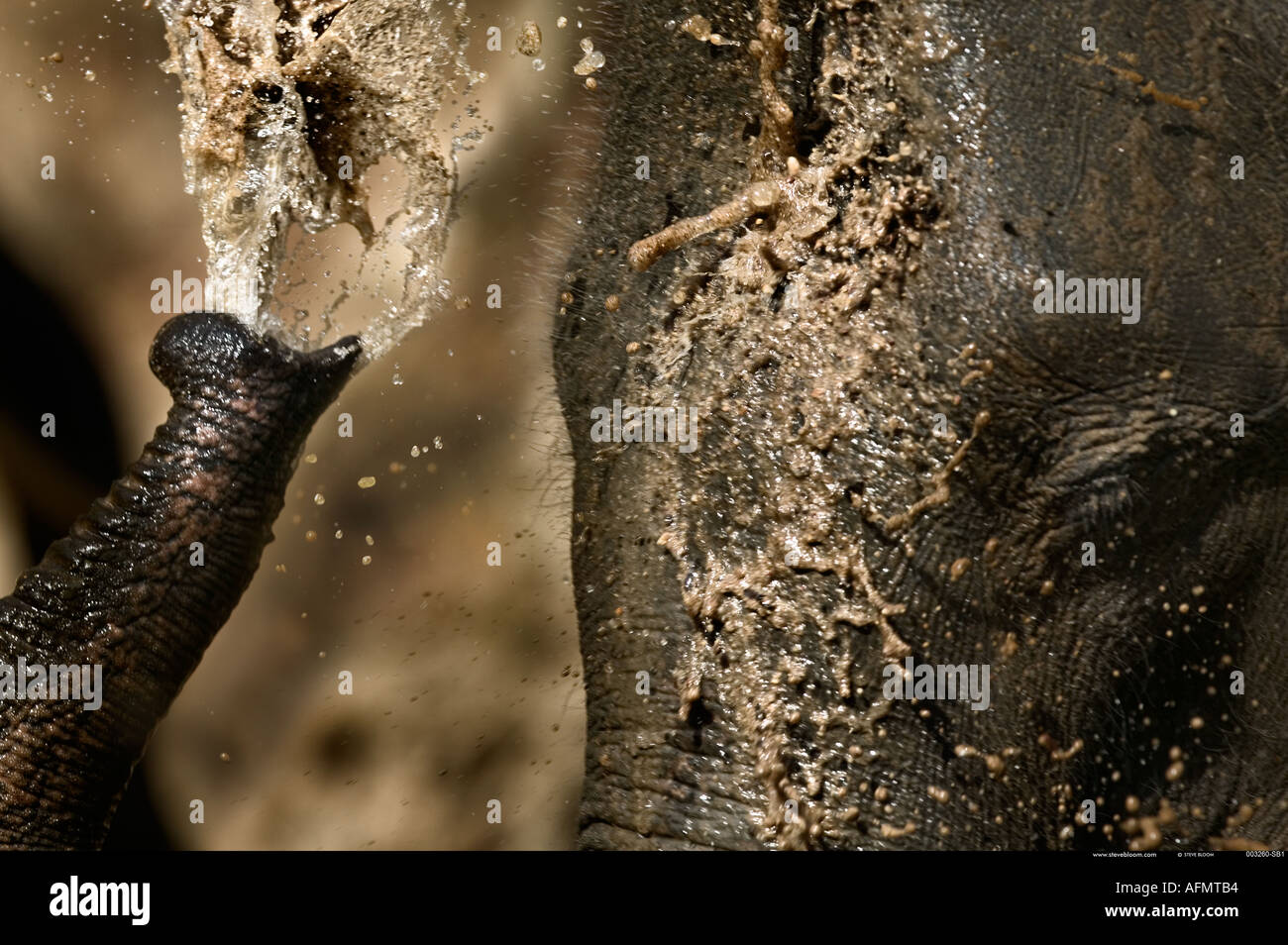Indian elephant squirting himself with water Bandhavgarh India - Stock Image