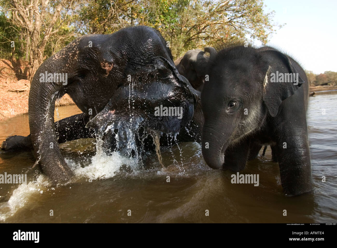 Elephants in the river drinking Kanha India - Stock Image