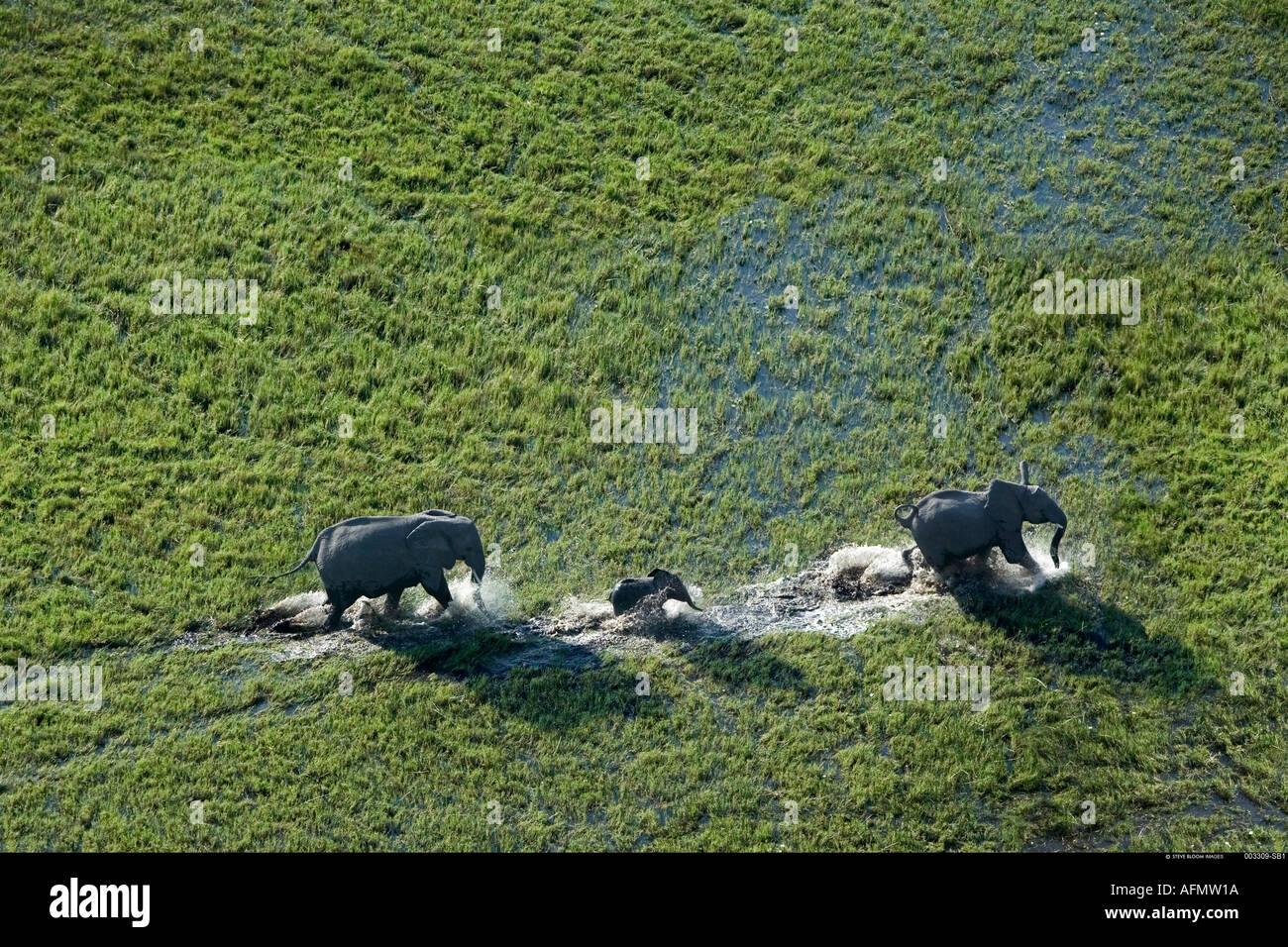 Aerial view of elephant family Okavango Delta Botswana - Stock Image
