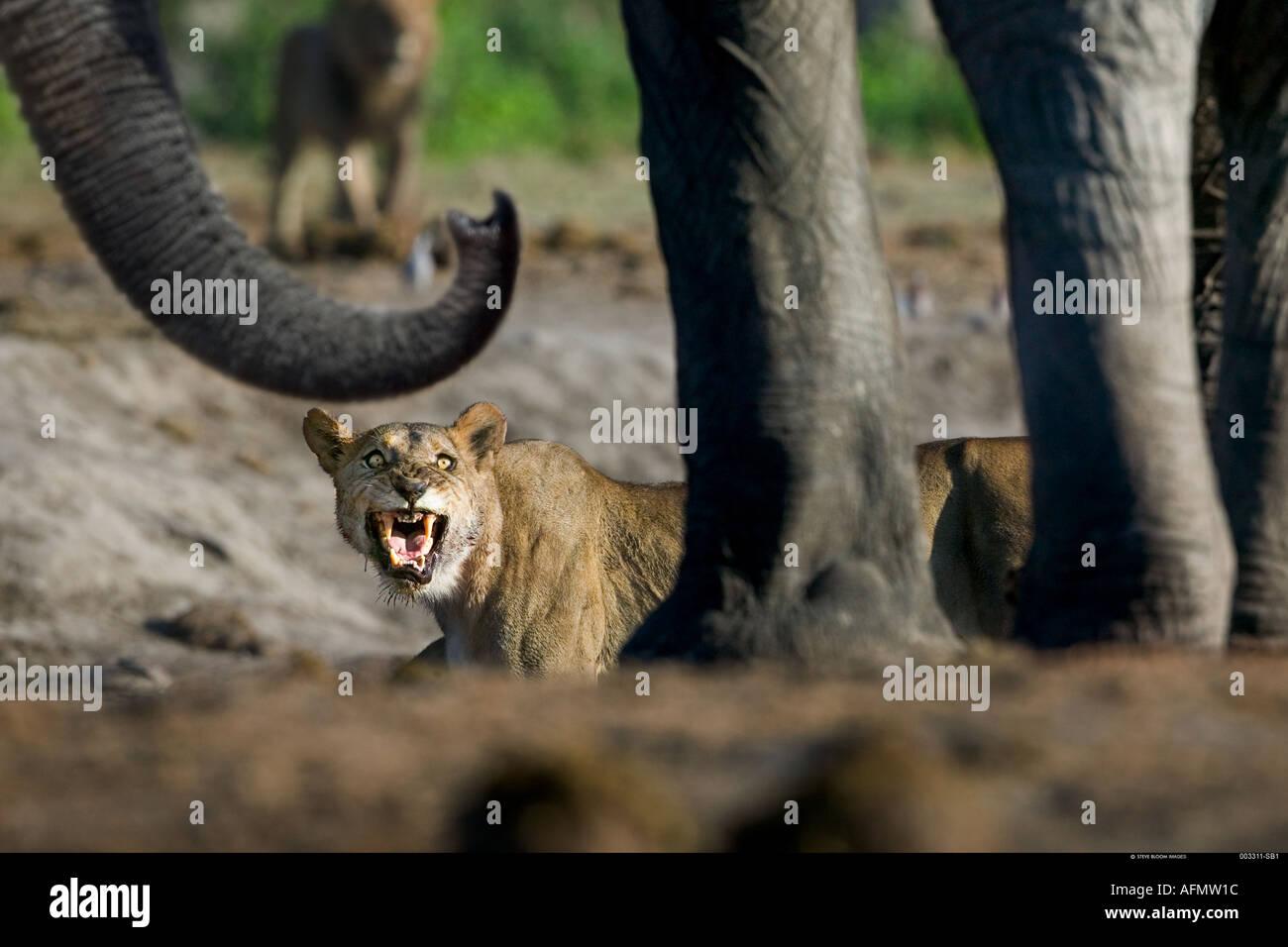Confrontation between lioness and elephant at waterhole Savuti Botswana - Stock Image