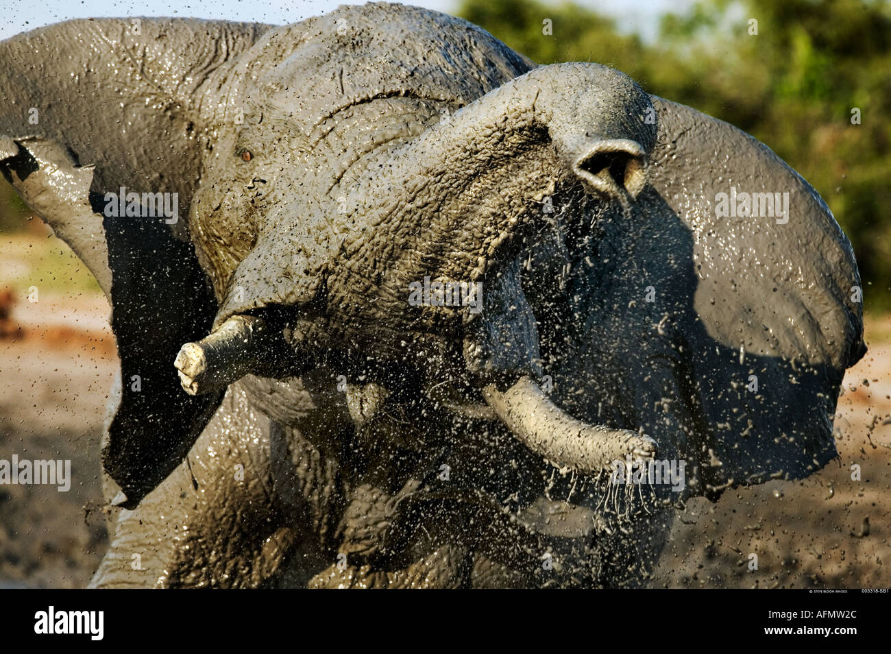 African elephant mud bathing Savuti Botswana - Stock Image