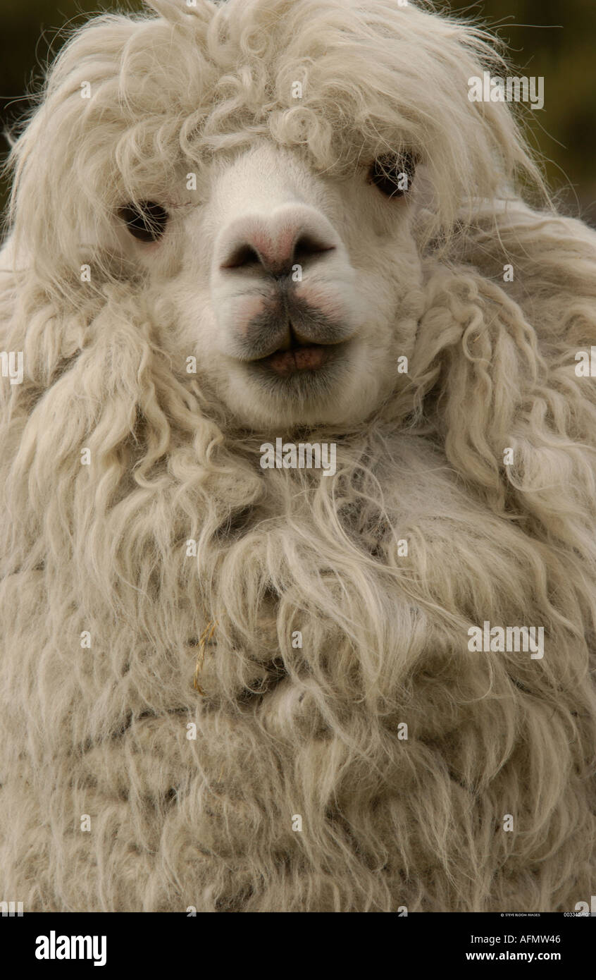 Alpaca base of Cotopaxi Volcano Andes Ecuador South America Alpacas produce very fine wool which is used for clothing - Stock Image