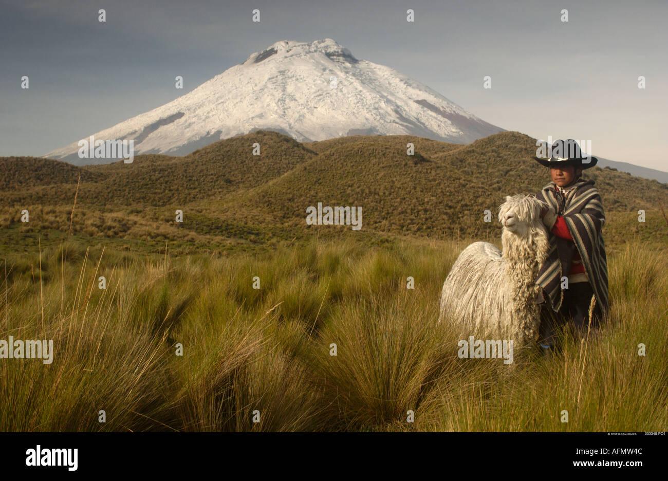 Cotopaxi Volcano 5897m and long haired Alpaca Suri Cotopaxi National Park Andes Ecuador South America - Stock Image