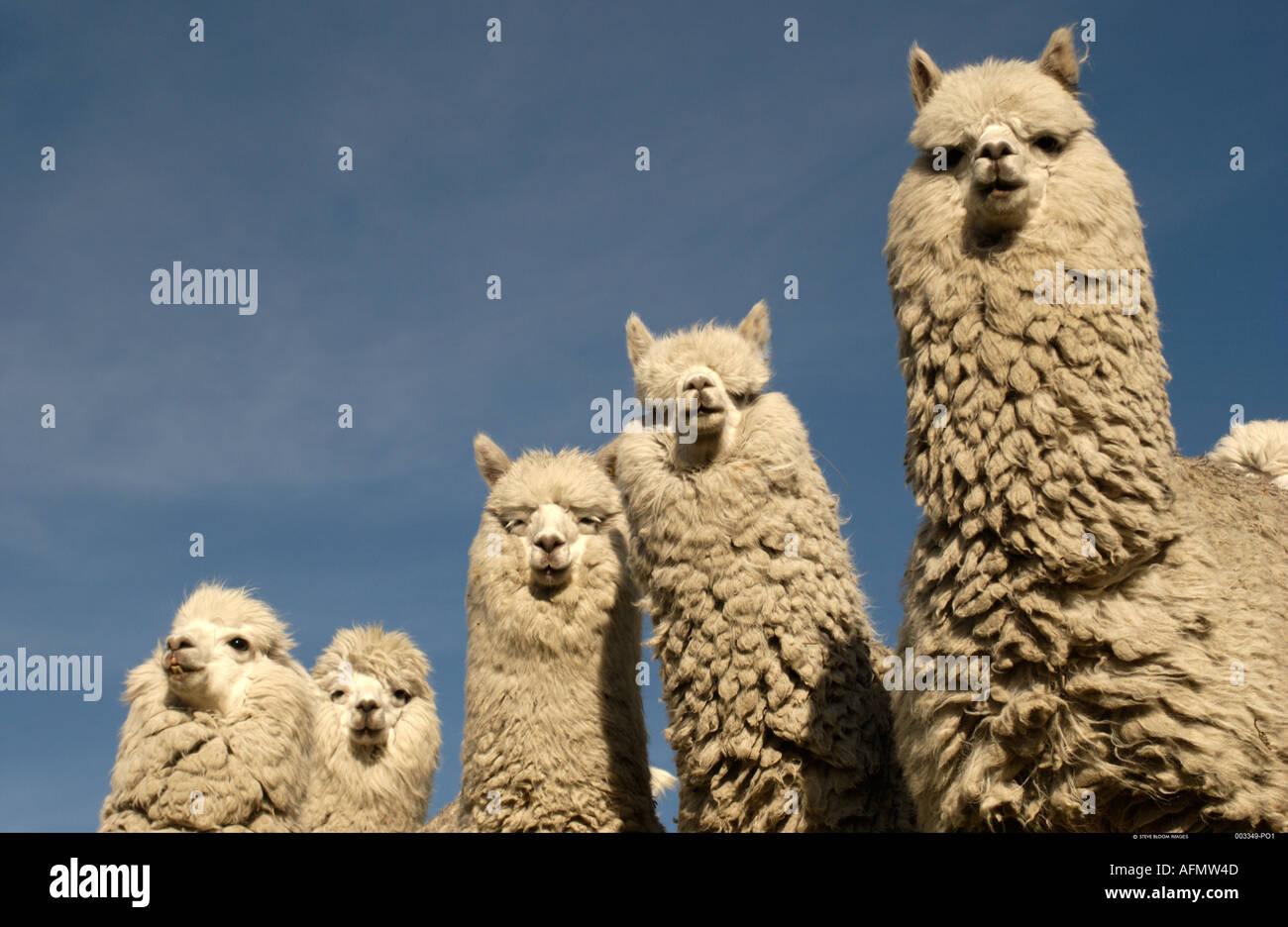 Alpacas base of Cotopaxi Volcano Andes Ecuador South America - Stock Image