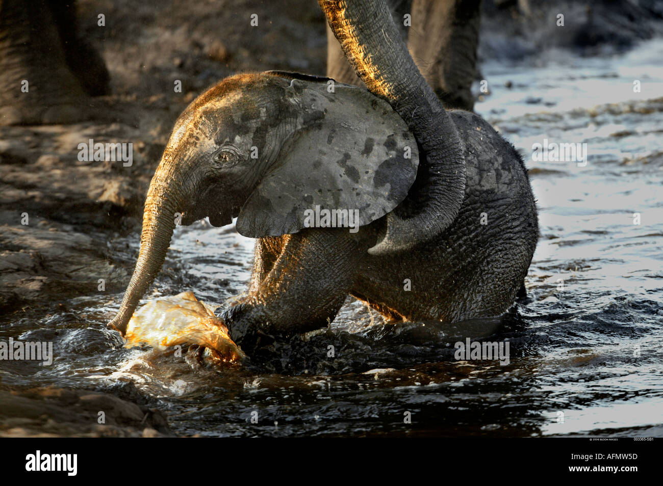 An elephant calf being helped out of the water by his mother Chobe Botswana - Stock Image
