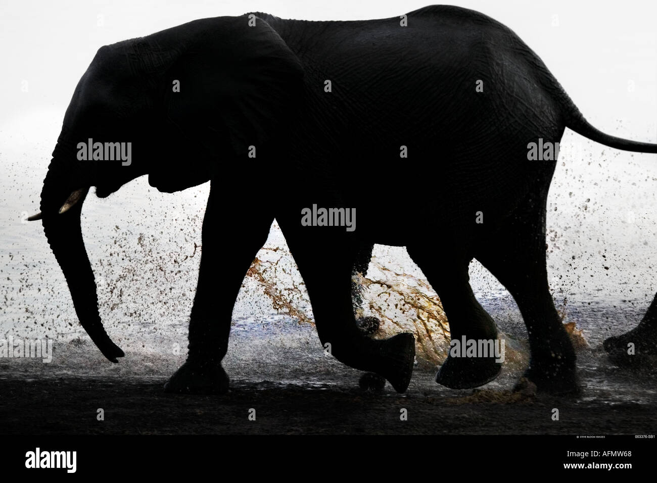 Silhoutted elephant walking in the river Chobe Botswana - Stock Image
