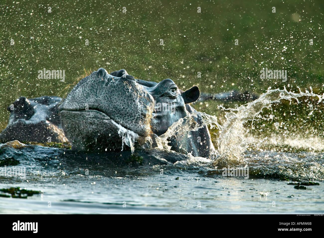 Hippopotamus Okavango Delta Botswana - Stock Image