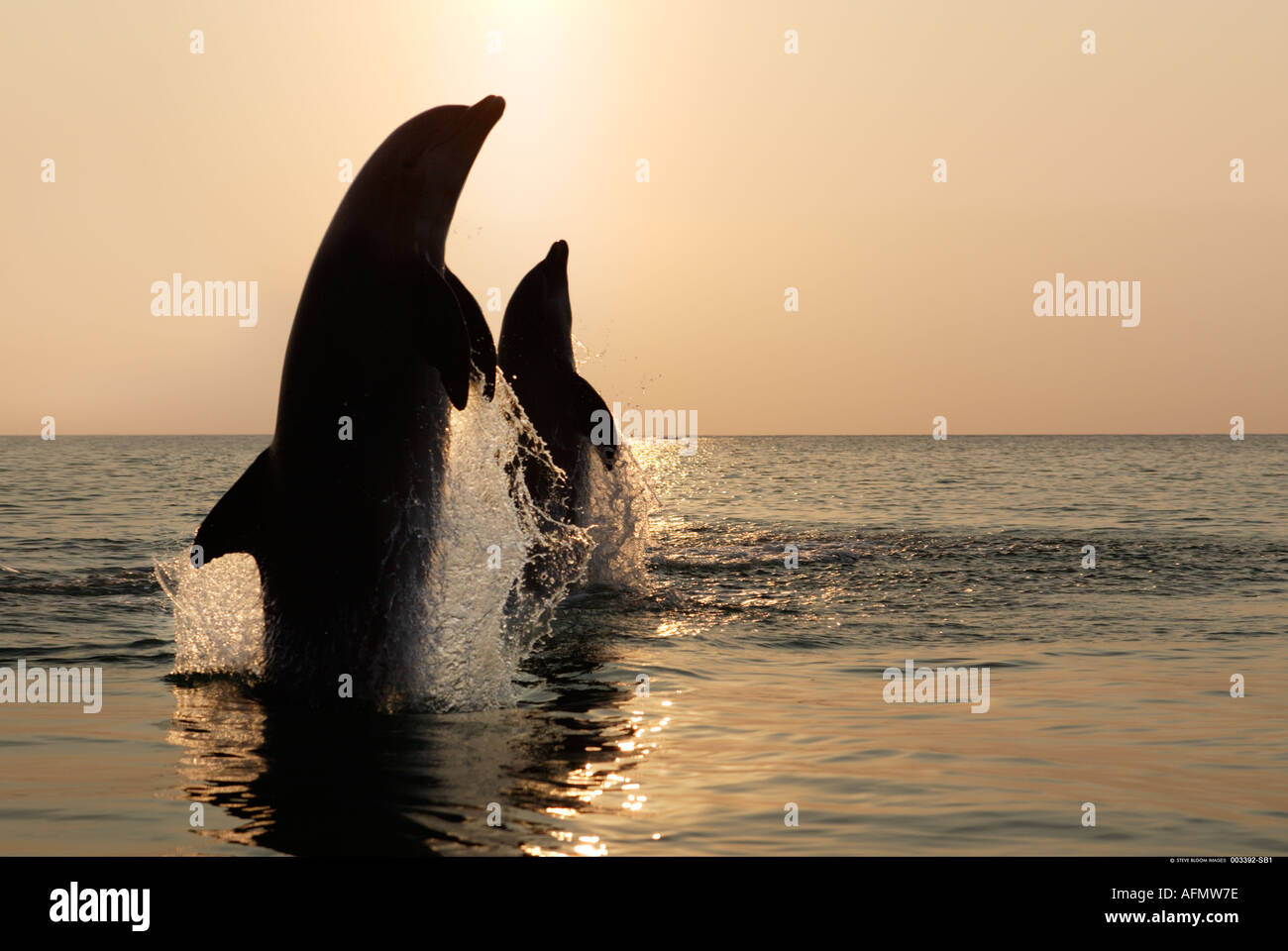 Silhouette of two Bottlenose Dolphins leaping at sunset Honduras Stock Photo