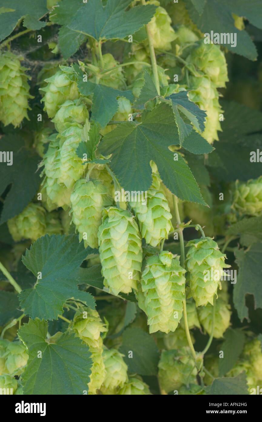Hop cones on vine. - Stock Image