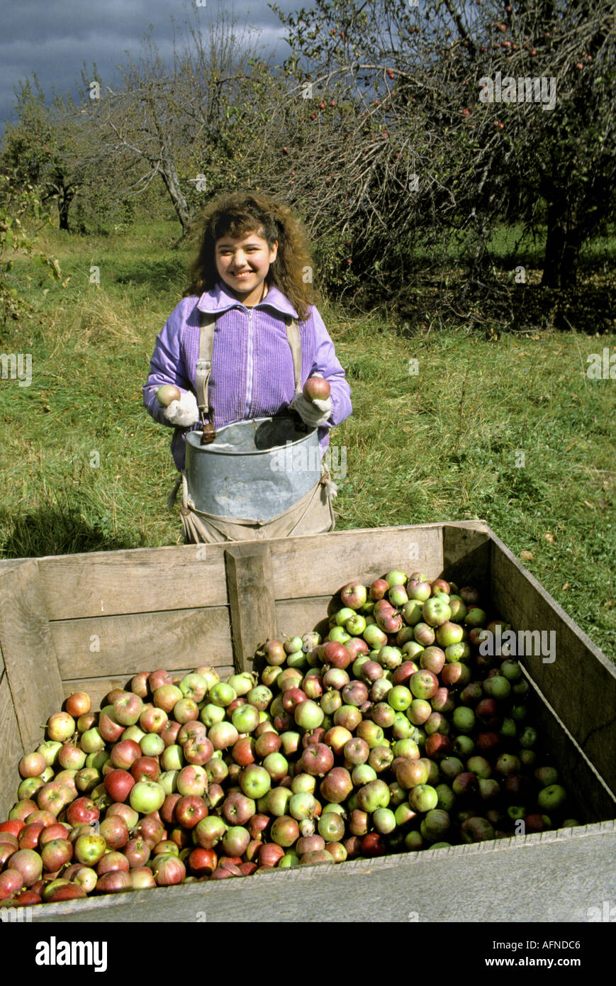 Mexican migrant worker picks apples during fall autumn harvest in Port Huron Michigan orchard - Stock Image