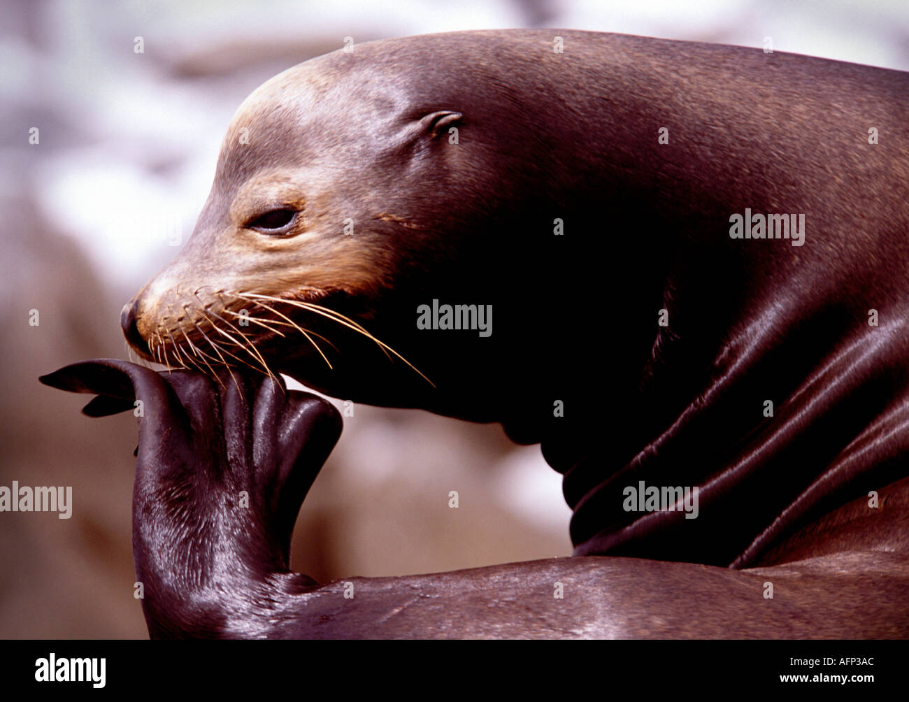 Mexico Baja California Sea of Cortez Sea Lion scratching while sitting on rock - Stock Image