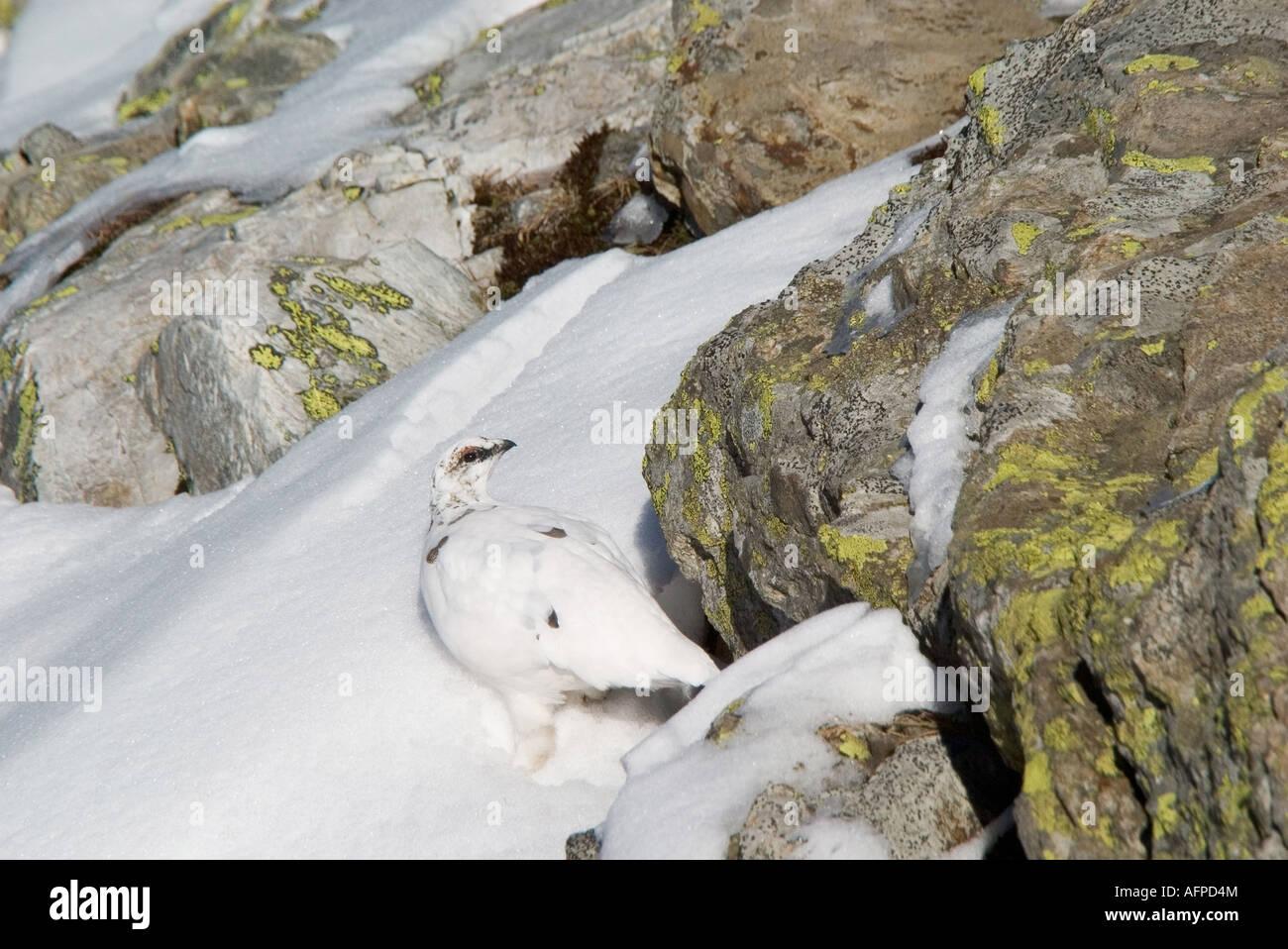 Alpenschneehuhn im Winterkleid Ptarmigan Lagopus mutus in winter plumage Stock Photo