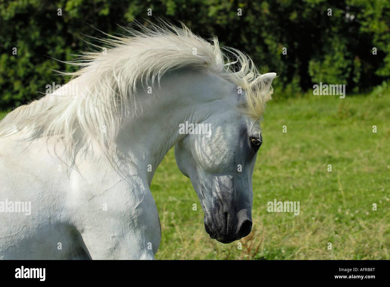 Connemara pony stallion - Stock Image