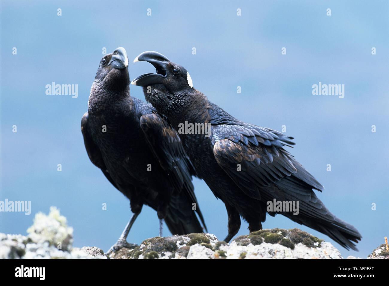 Pair of Thick billed Raven Corvus crassirostris largest songbird Semien Mountain Natinal Park - Stock Image