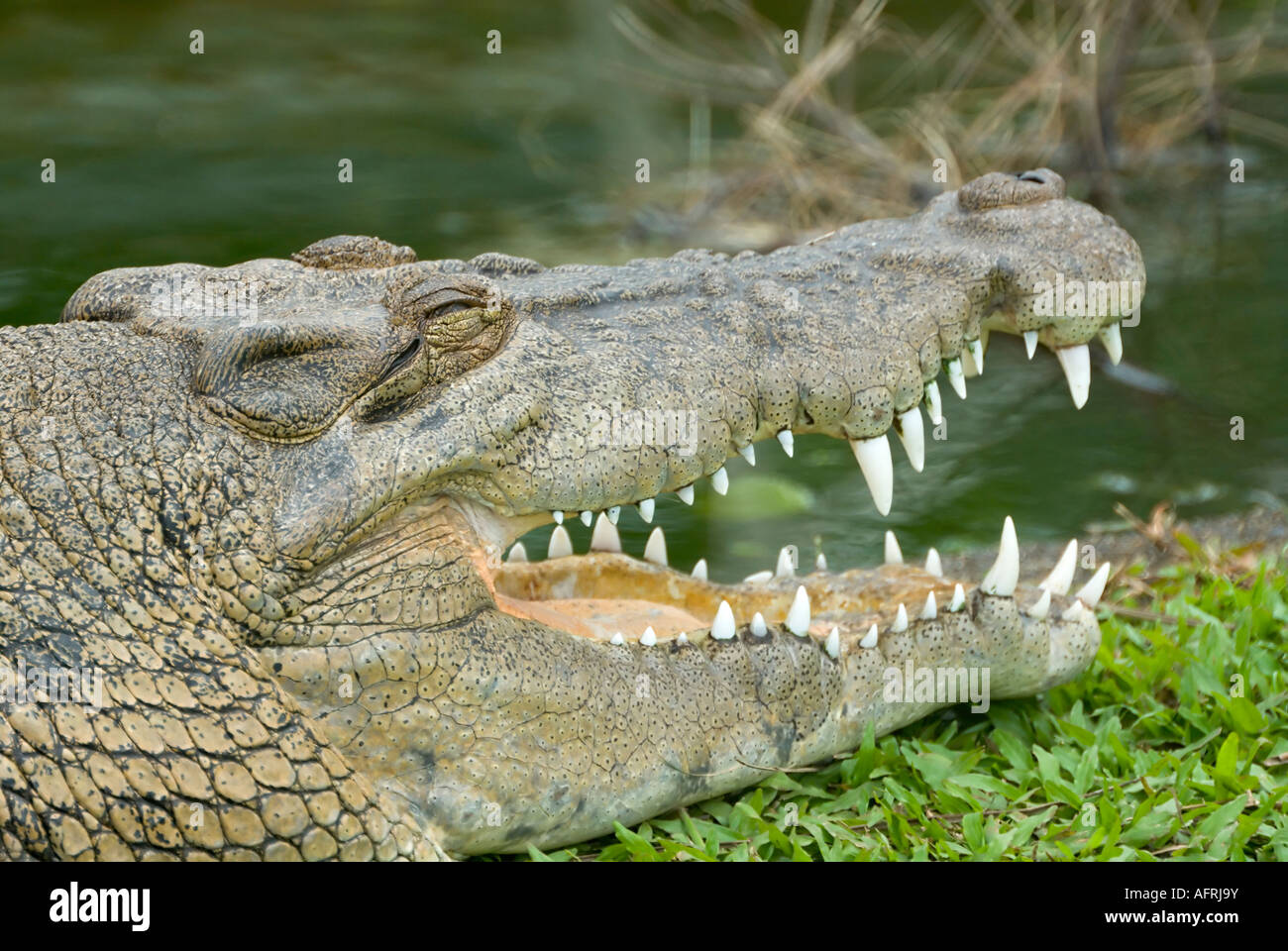 estuarine saltwater crocodile. Photographed in Queensland, Australia. - Stock Image