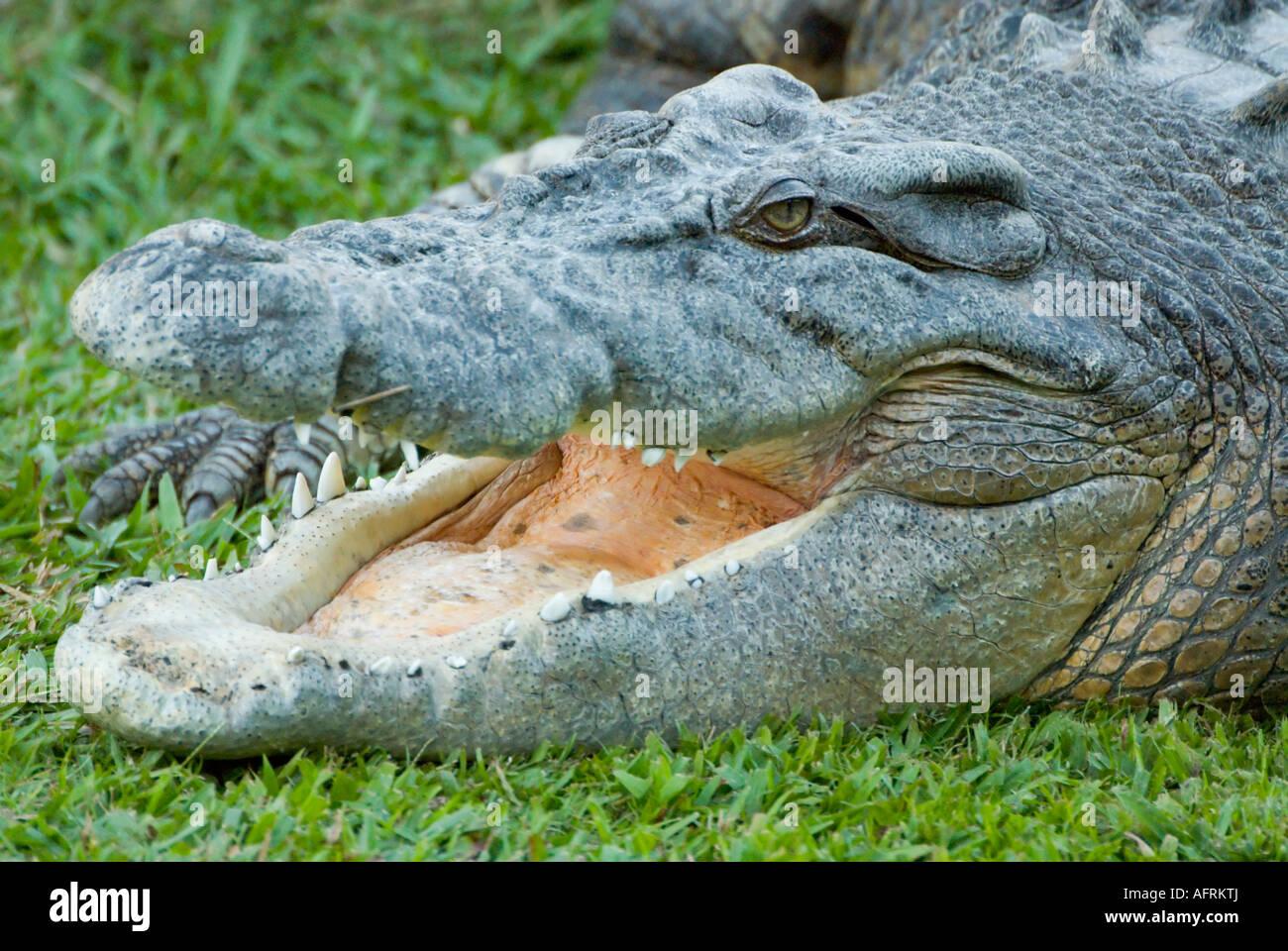 estuarine saltwater crocodile. Photographed in Queensland, Australia. - Stock Image