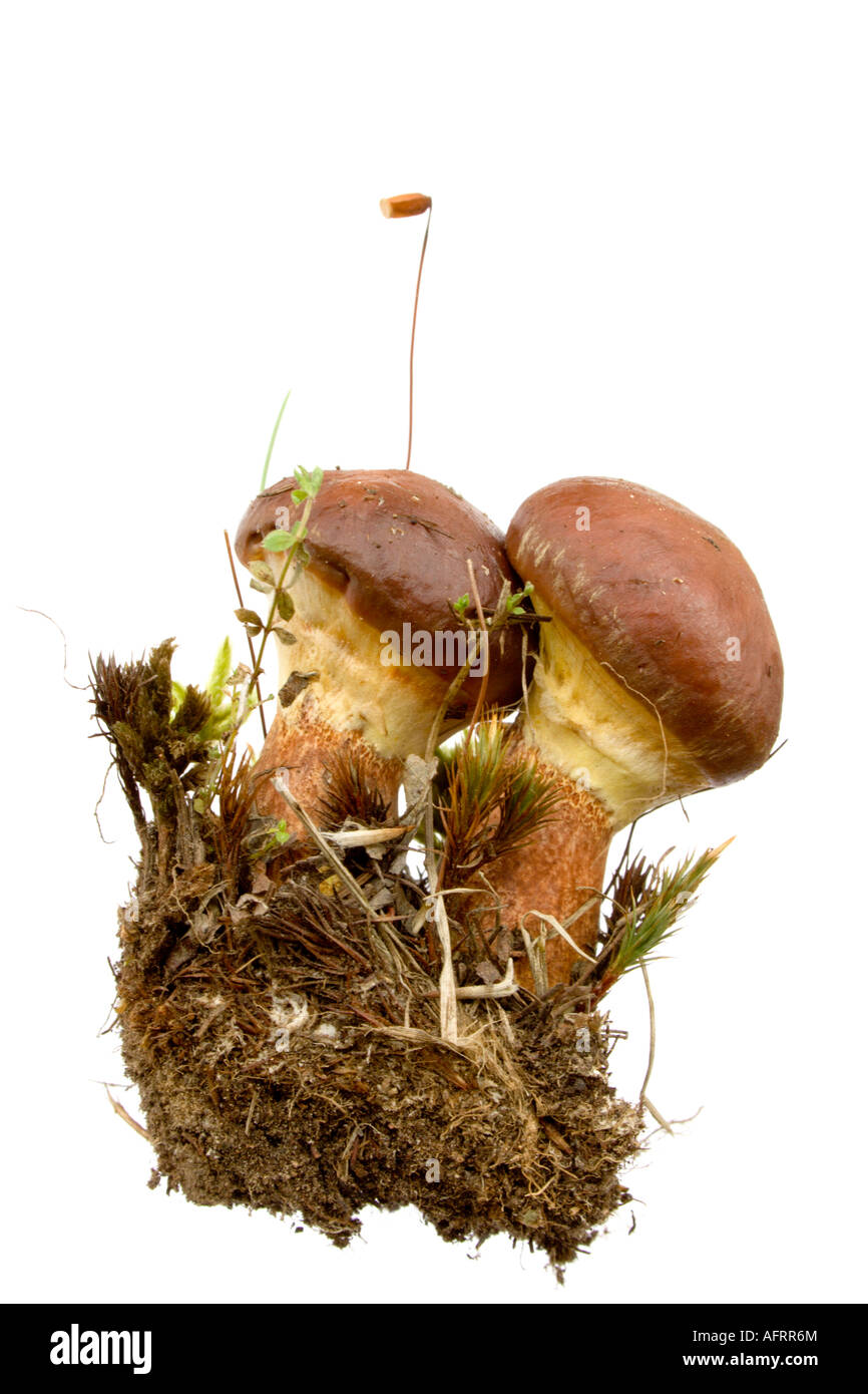 Boletus luteus - slippery. Eatable mushroom, very delicious. Isolated on white - Stock Image