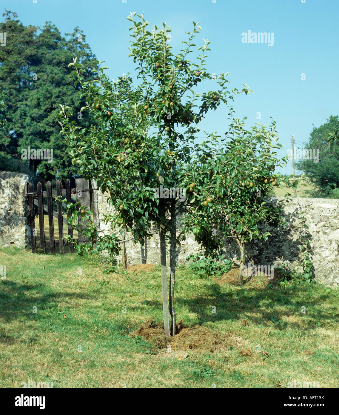 Young apple tree mulched with grass cuttings in walled domestic orchard - Stock Image